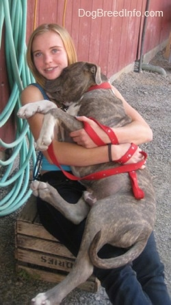 A girl in a blue shirt is sitting on a box and she is holding a blue-nose brindle Pit Bull Terrier puppy in her lap.