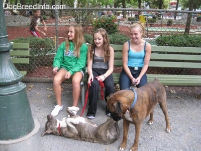 Three girls are sitting on a green bench and they are looking down at a blue-nose brindle Pit Bull Terrier laying on his back with his belly up. A brown brindle Boxer is looking down at the puppy.
