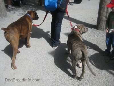 A blue-nose brindle Pit Bull Terrier and a brown brindle Boxer are being led on a walk across a gravel walkway.