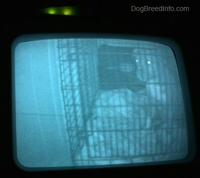 A still image of a video puppy monitor that shows a blue-nose brindle Pit Bull Terrier puppy sitting towards the back of a crate.