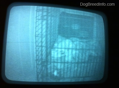 A still image of a video puppy monitor that shows a blue-nose brindle Pit Bull Terrier puppy sleeping on a blanket inside of a dog crate.