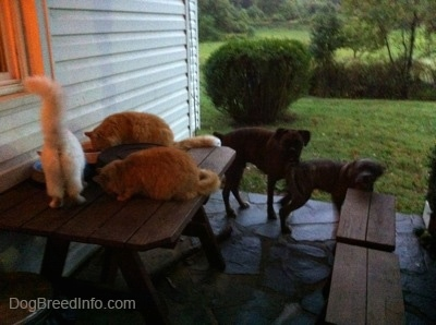 Three cats are eating cat food out of a bowl on a table on a stone porch in front of a white farm house. A brown brindle Boxer and a blue-nose brindle Pit Bull Terrier puppy are looking at the cats.