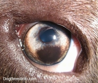 Close up - A brown spot in the eye of a blue-nose brindle Pit Bull Terrier that covers the corner of the eye.