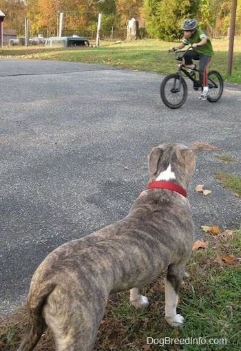 The back of a blue-nose brindle Pit Bull Terrier that is standing in grass looking at a boy riding a bike across a blacktop surface.