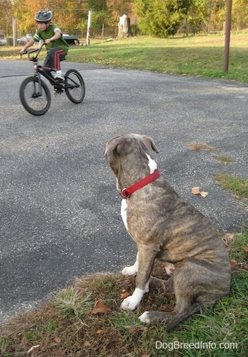 A blue-nose brindle Pit Bull Terrier is sitting in grass and he is looking at a boy riding a bike.