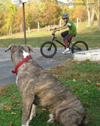 A blue-nose brindle Pit Bull Terrier is sitting in grass and he is looking to the right at a boy who is riding a bike across a blacktop surface.