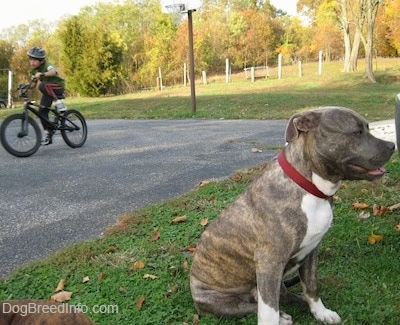 A blue-nose brindle Pit Bull Terrier is sitting in grass and his back is facing the boy who is riding a bike.