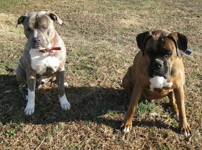 A blue-nose Brindle Pit Bull Terrier and a brown brindle Boxer are sitting side-by-side in grass and they are looking down.