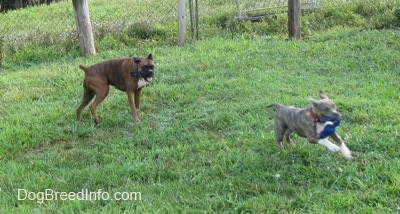 A brown with black and white Boxer is running across a field after a blue-nose brindle Pit Bull Terrier puppy with a blue rope toy in its mouth.