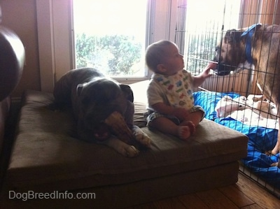 A blue-nose Brindle Pit Bull Terrier is laying on a pillow, chewing a bone and next to him is a toddler. The Toddler is touching the fence that is enclosing a brown with black and white Boxer. The Boxer is licking the toddlers fingers.