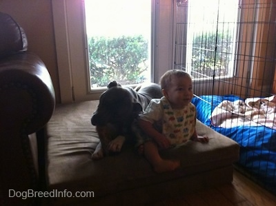 A blue-nose Brindle Pit Bull Terrier is laying on a green orthopedic dog bed pillow chewing a bone really close to the toddler sitting next to him.