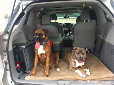 A brown with black and white Boxer is sitting on a dog bed in the back of a van. Next to him is a laying blue-nose Brindle Pit Bull Terrier. They both are panting.