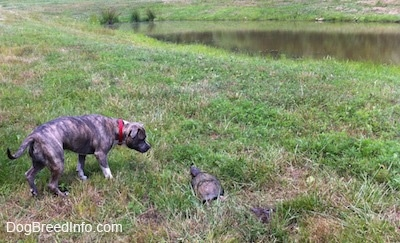 A blue-nose Brindle Pit Bull Terrier is looking at a snapping turtle that is laying in the grass near a small pond.