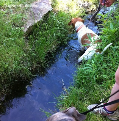 The back of a brown and white Beagle mix that is standing in a stream.