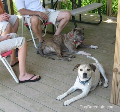 A blue-nose Brindle Pit Bull Terrier is laying on a porch in front of a person in a lawn chair. Across from him is a tan and white Pit bull mix.