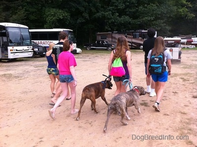 A group of girls, two guys and two dogs are walking across a sandy parking lot. There are a lot of buses, RVs and cars to the left of them.