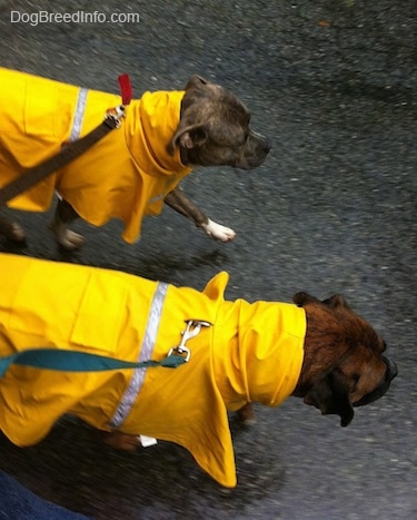 A blue-nose Brindle Pit Bull Terrier and a brown with black and white Boxer are wearing yellow rain coats walking across a blacktop surface.
