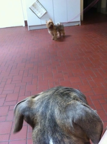 The back of a blue-nose brindle Pit Bull Terrier puppy looking at a small dog across from him on a red brick floor.