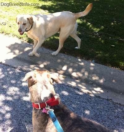 A yellow Labrador is standing in grass across from a blue-nose Brindle Pit Bull Terrier in the street.
