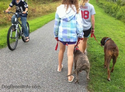The back of a blonde-haired girl and a girl in a blue plaid jacket that are leading a blue-nose brindle Pit Bull Terrier puppy and a brown brindle Boxer on a walk. There is a person in a Dallas Cowboys jersey riding a bike down a pathway past them.