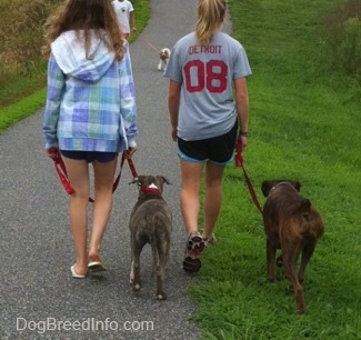 The back of a blonde-haired girl and a girl in a blue plaid jacket that are leading a blue-nose brindle Pit Bull Terrier puppy and a brown brindle Boxer on a walk. There is a person in a white shirt walking down the path with a Cavalier King Charles Spaniel dog.