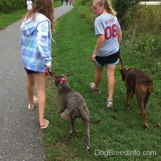 The back of a blonde-haired girl and a girl in a blue jacket that are leading a blue-nose brindle Pit Bull Terrier puppy and a brown brindle Boxer on a walk in grass. There are people walking down a path in front of them.
