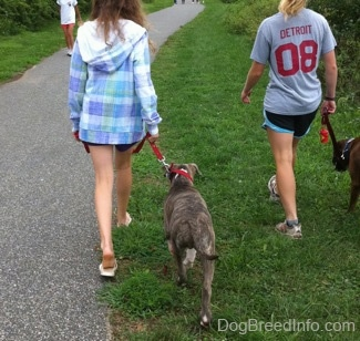 The back of a blonde-haired girl and a girl in a blue jacket that are leading a blue-nose brindle Pit Bull Terrier puppy and a brown brindle Boxer on a walk. There is a person in a white shirt leading her dog on a walk.