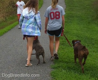 The back of a blonde-haired girl and a girl in a blue jacket that are leading a blue-nose brindle Pit Bull Terrier puppy and a brown brindle Boxer on a walk. There is a person in a white shirt walking down the path with another dog. The Pit Bull Terrier puppy is reacting to the other dog.