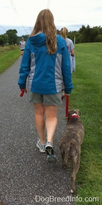 The back of a lady in a blue jacket that is leading a blue-nose brindle Pit Bull Terrier puppy down a blacktop surface. There is a person running down the path.