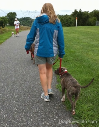 The back of a lady in a blue jacket that is leading a blue-nose brindle Pit Bull Terrier puppy down a blacktop surface. There is a person running down the path. There is a person walking down the track with her dog.