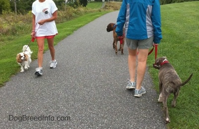The back of a lady in a blue jacket that is leading a blue-nose brindle Pit Bull Terrier puppy down a blacktop surface. There is a person with a white with tan Cavalier King Charles Spaniel dog walking next to them. All of the dogs are looking at each other.