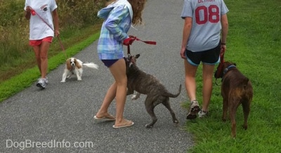 The back of a blonde-haired girl that is holding the leash of a brown brindle Boxer. A girl in a blue plaid jacket is holding the leash of a blue-nose brindle Pit Bull Terrier that is reacting by jumping in the air towards a Cavalier King Charles Spaniel dog that is across from them.