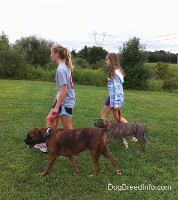 A blonde-haired girl and a girl in a blue jacket are leading a blue-nose brindle Pit Bull Terrier puppy and a brown brindle Boxer on a walk across a field.