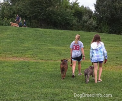 The back of a blonde-haired girl and a girl in a blue plaid jacket that are leading a blue-nose brindle Pit Bull Terrier puppy and a brown brindle Boxer on a walk. On the road in the background in front of them a family is walking their Golden Retriever dog.