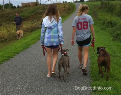 The back of a blonde-haired girl and a girl in a blue plaid jacket that are leading a blue-nose brindle Pit Bull Terrier puppy and a brown brindle Boxer on a walk. Across from him and walking down grass there is a man walking a Golden Retriever dog.