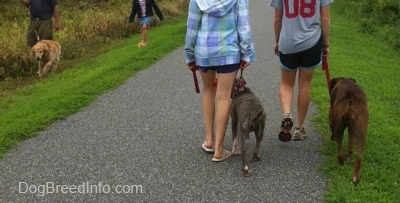The back of a girl in a blue plaid jacket and a girl in a shirt with a number 08 on it are leading a blue-nose brindle Pit Bull Terrier puppy and a brown brindle Boxer on a walk. Across from them a man is walking his Golden Retriever and behind him is a little girl walking across the grass.