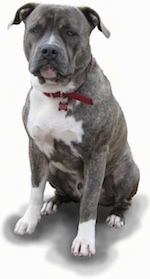 A blue-nose brindle Pit Bull Terrier is sitting on a blank background.