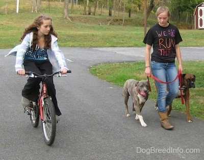A girl in a white jacket is riding a bike in a circle next to a girl in a black shirt that reads - We Run This. She is leading a blue-nose brindle Pit Bull Terrier puppy and a brown brindle Boxer on a walk around a grass circle.