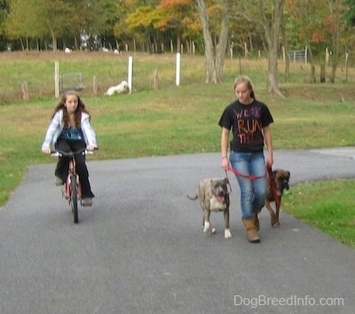 A girl in a black shirt that reads - We Run This - is leading a blue-nose brindle Pit Bull Terrier puppy and a brown brindle Boxer on a walk around a grass circle. There is a girl riding a bike next to them and a Great Pyrenese dog laying down in the distance on the hill.