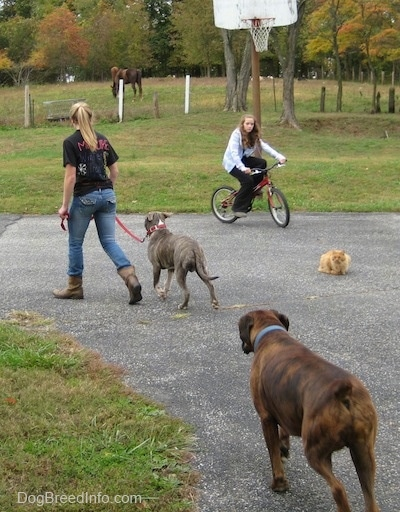 A blonde-haired girl is walking a blue-nose brindle Pit Bull Terrier puppy around a grass circle. Following behind them is a brown brindle Boxer. Across from them is a girl riding a bike and an orange cat is watching all of it happen.