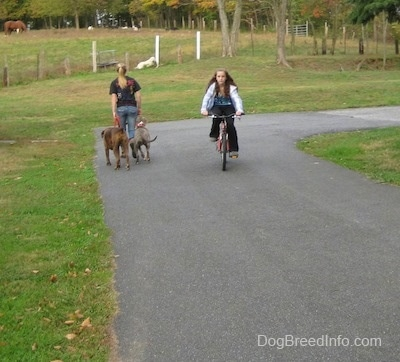 A girl on a bike is riding it down a blacktop surface and to the left of her is the back of a girl in a black shirt and a blue-nose brindle Pit Bull Terrier puppy and a brown brindle Boxer. The girl in black, the puppy and the dog are walking towards a field. There is a Great Pyrenese dog laying down in the field.