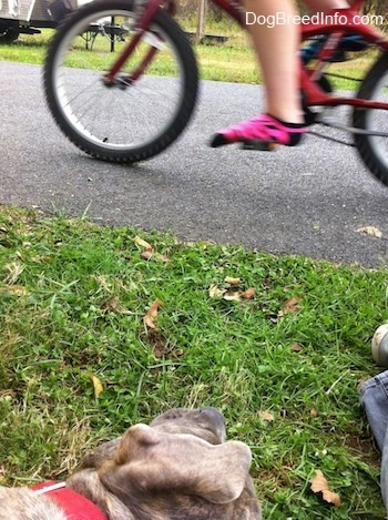 Close up - A blue-nose brindle Pit Bull Terrier puppy is laying on his right side and he is looking at a person riding by on a bicycle.