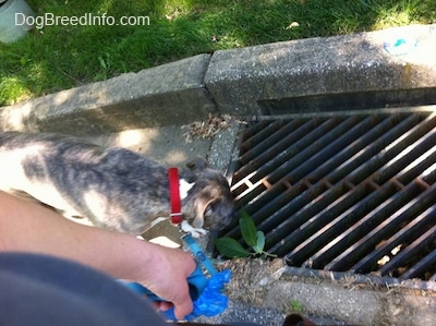 A blue-nose Brindle Pit Bull Terrier is sticking his nose into a storm drain.