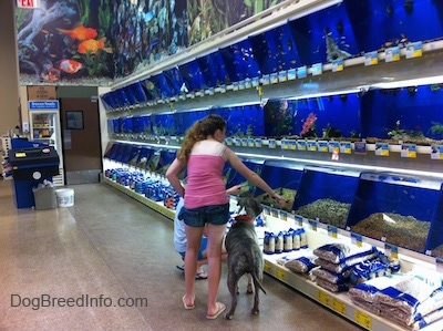 A girl in a pink shirt is pointing to a fish in a fish tank at a pet store. A blue-nose Brindle Pit Bull Terrier is looking at the fish in the tank.