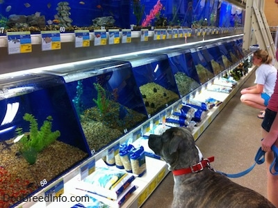 A blue-nose Brindle Pit Bull Terrier is looking at a fish in a tank at a large pet store.