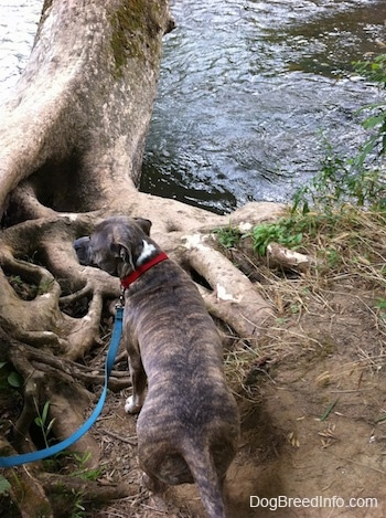The back of a blue-nose Brindle Pit Bull Terrier is standing in dirt and he is looking out at a tree that is growing into a body of water.