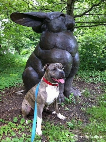 A blue-nose Brindle Pit Bull Terrier is sitting next to a huge rabbit statue that is in the woods.