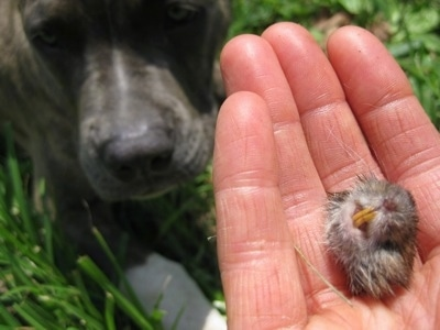 Close up - A person has a mouse head in their hand. In the background a dog is laying in grass and looking up at the hand.