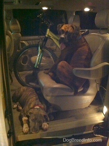 A brown with black and white Boxer is sitting in a bucket seat in the middle of a Toyota Sienna minivan. A blue-nose brindle Pit Bull Terrier puppy is sleeping on the floor of a vehicle in front of him. There is a mountain bike in in the van next to the Boxer.