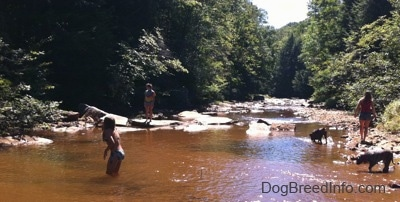 Two girls are walking on the edge of a creek. One girl is in the water and a blue-nose brindle Pit Bull Terrier puppy and a brown brindle Boxer are standing in it.